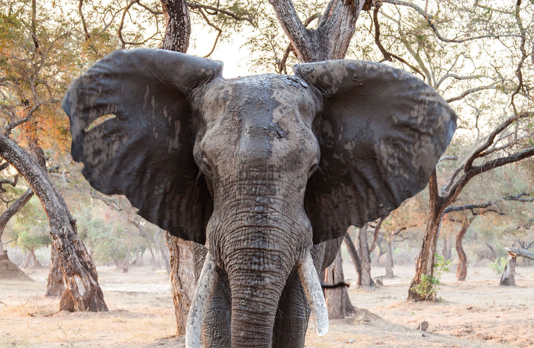 South African tourist dies after being trampled by elephant in Mana Pools