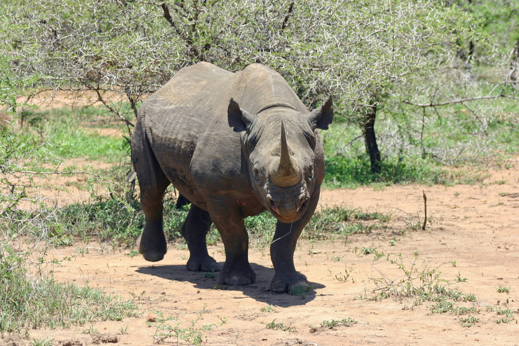 Maushami Chetty On Inspiration Adventure: Watch: Rhino Charges Vehicle In The Kruger