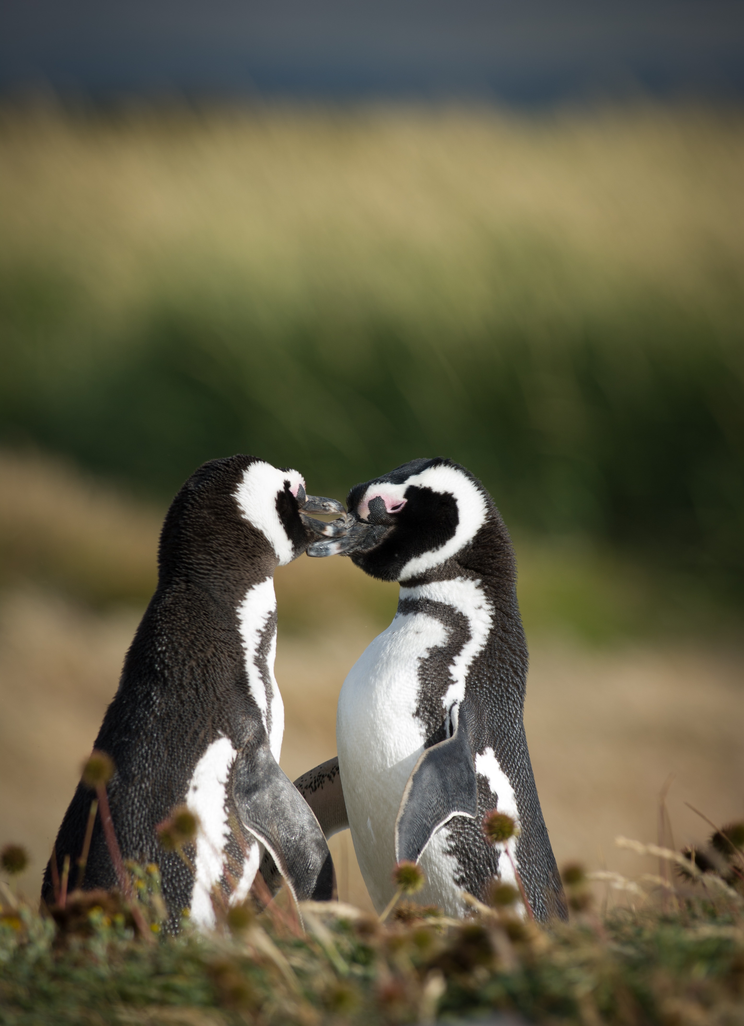 Adopt a penguin as a Valentine's Day gift