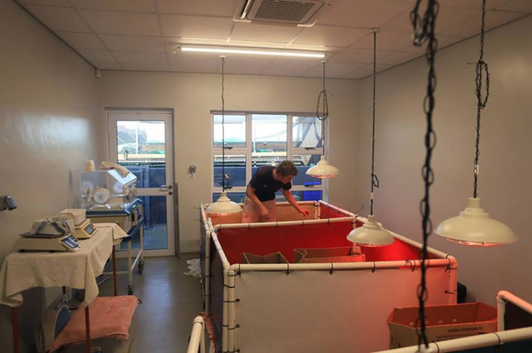 The Southern African Foundation for the Conservation of Coastal Birds is keeping some younger weaker lesser flamingo chicks in an intensive care unit where they are fed by hand. Photo: Supplied.