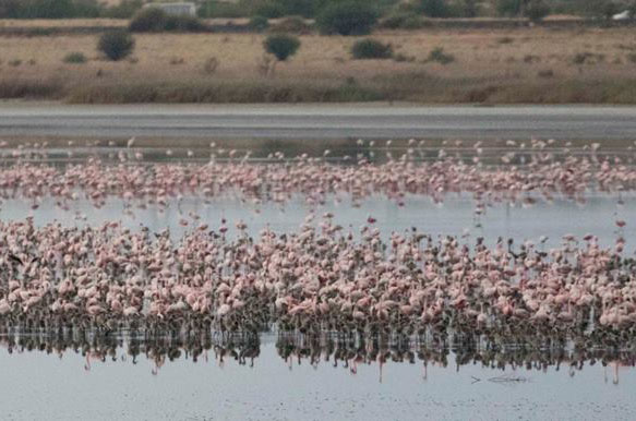 Lesser flamingo adults and chicks at the Kamfers dam. Chicks have been seen practicing their filter feeding skills, a sign that they are developing. Photo: Mark Anderson.