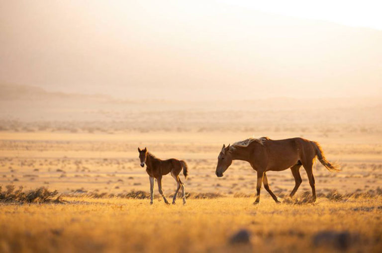 A mare and foal cross the grasslands of the Namib. Photo: Teagan Cunniffe.