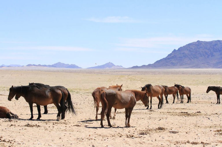 The herd relaxes on the desert flats. Photo: Facebook.