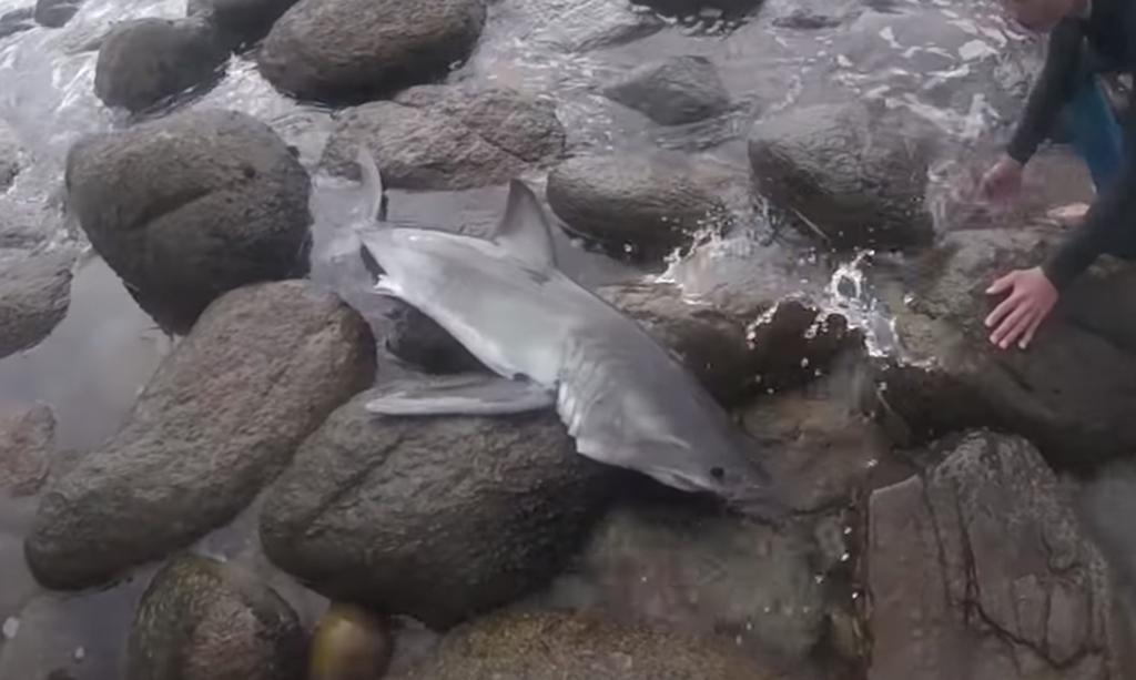 Watch: surfers save stranded baby great white shark