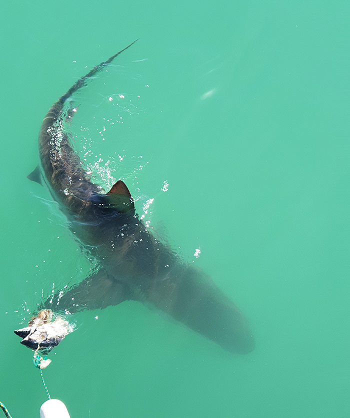 Swimming with the sharks in Gansbaai
