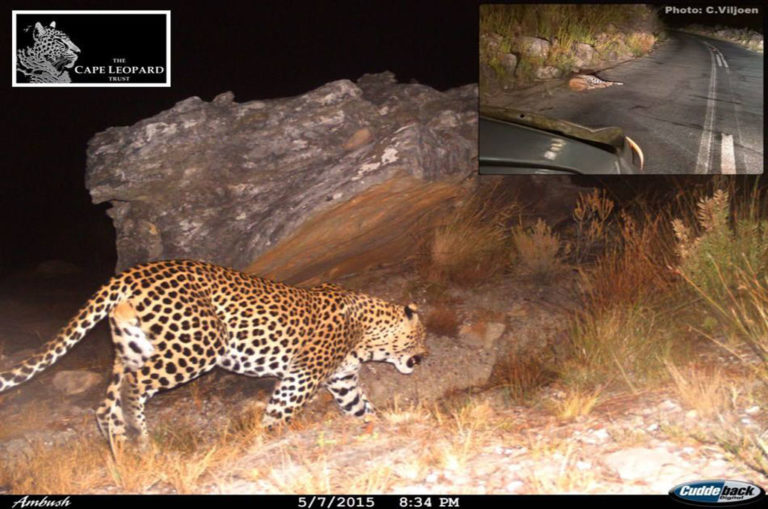 A camera trap photo of the male leopard which died in 2017 after being hit by a car in Bainskloof Pass. The insert was taken soon after the incident by a passer-by. Image: Cape Leopard Trust/Facebook.