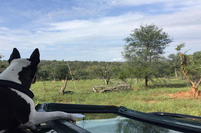 She is small enough to sit comfortably on the front seat of a Land Cruiser. Image: Pepper on Patrol/ Facebook.