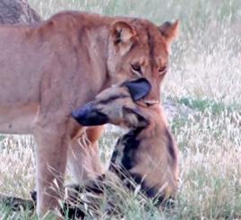 WATCH: Wild dog plays dead to escape lioness