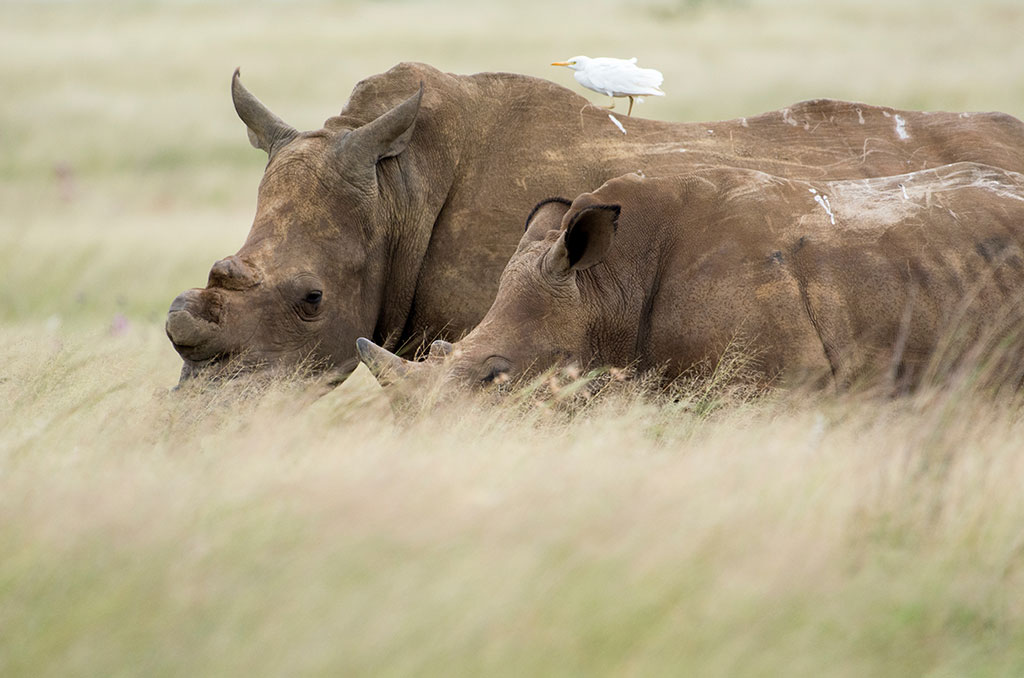 SANParks to increase protection of Kruger rhino cows