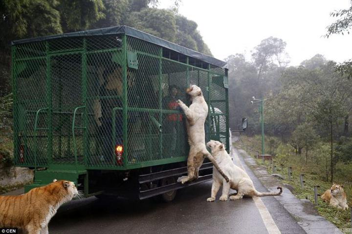 This zoo cages people and lets animals roam free
