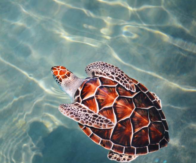 Save the turtles while interning in the Maldives