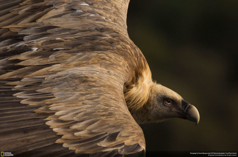 First place, nature. Tamara Blazquez Haik says: 'A gorgeous griffon vulture is seen soaring the skies in Monfragüe National Park in Spain. How can anyone say vultures bring bad omens when looking at such tenderness in this griffon vulture's eyes? Vultures are important members of the environment, as they take care of recycling dead matter. Vultures are noble and majestic animals—kings of the skies. When looking at them flying, we should feel humbled and admire them.'