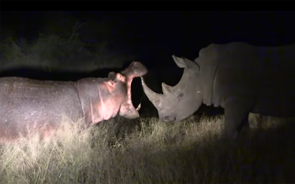 watch as rhinos get fed up with hippo