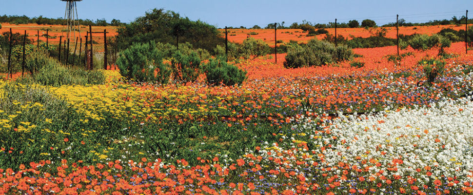 Unbounded, wild flowers spill over into towns, along highways and through fields. Image: Getty Images.