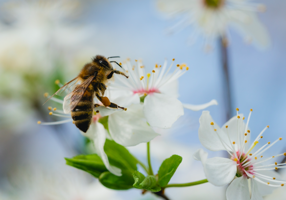 Tips to help bees, Earth's 'most important living species'