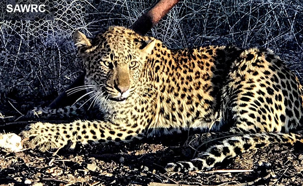 Watch: Leopard caught after roaming streets of Benoni