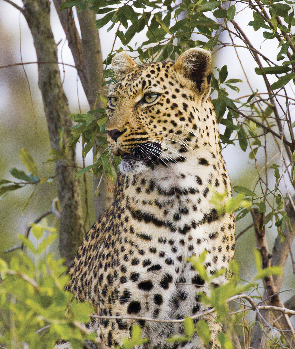 Kruger: Tiger hunting In the leopard triangle