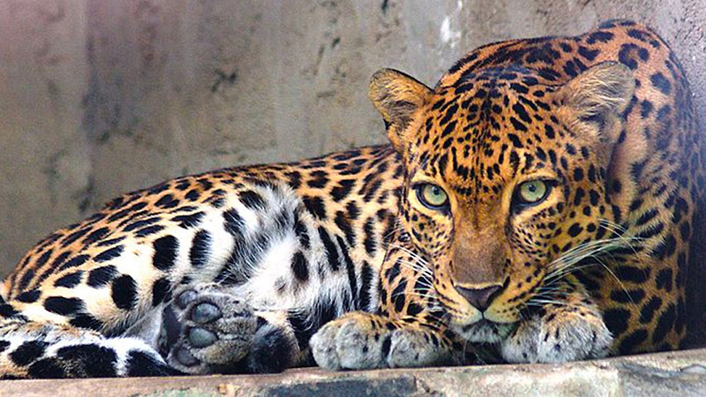 Two-year-old mauled by leopard on Koh Samui