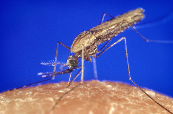 Giving mozzies malaria meds could prevent spread of disease