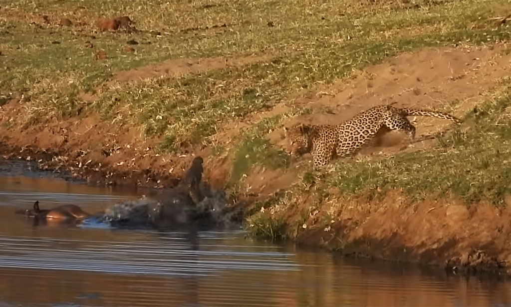 Leopard vs croc, who gets lunch?