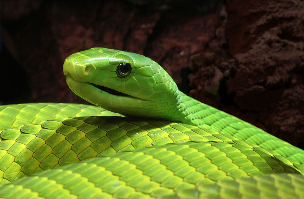 2 pregnant green mambas rescued in KZN