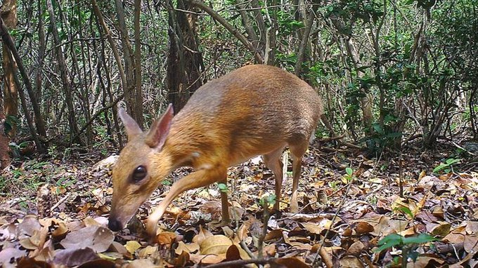 Rare deer spotted for first time in three decades