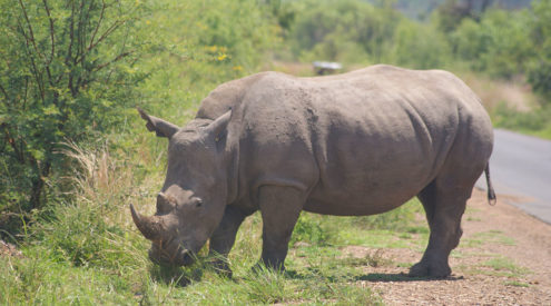 Rhino dehorned to keep poachers at bay