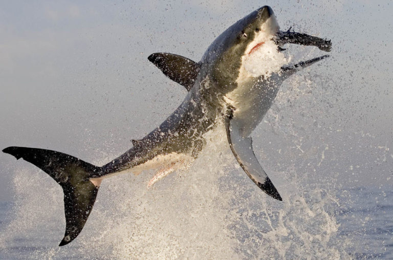 great white image by chris fallows
