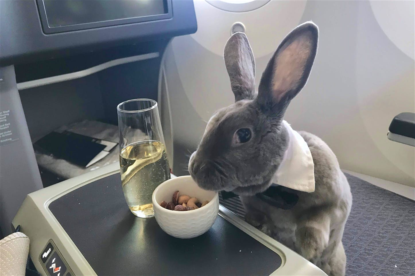 Adorable bunny travels in business class