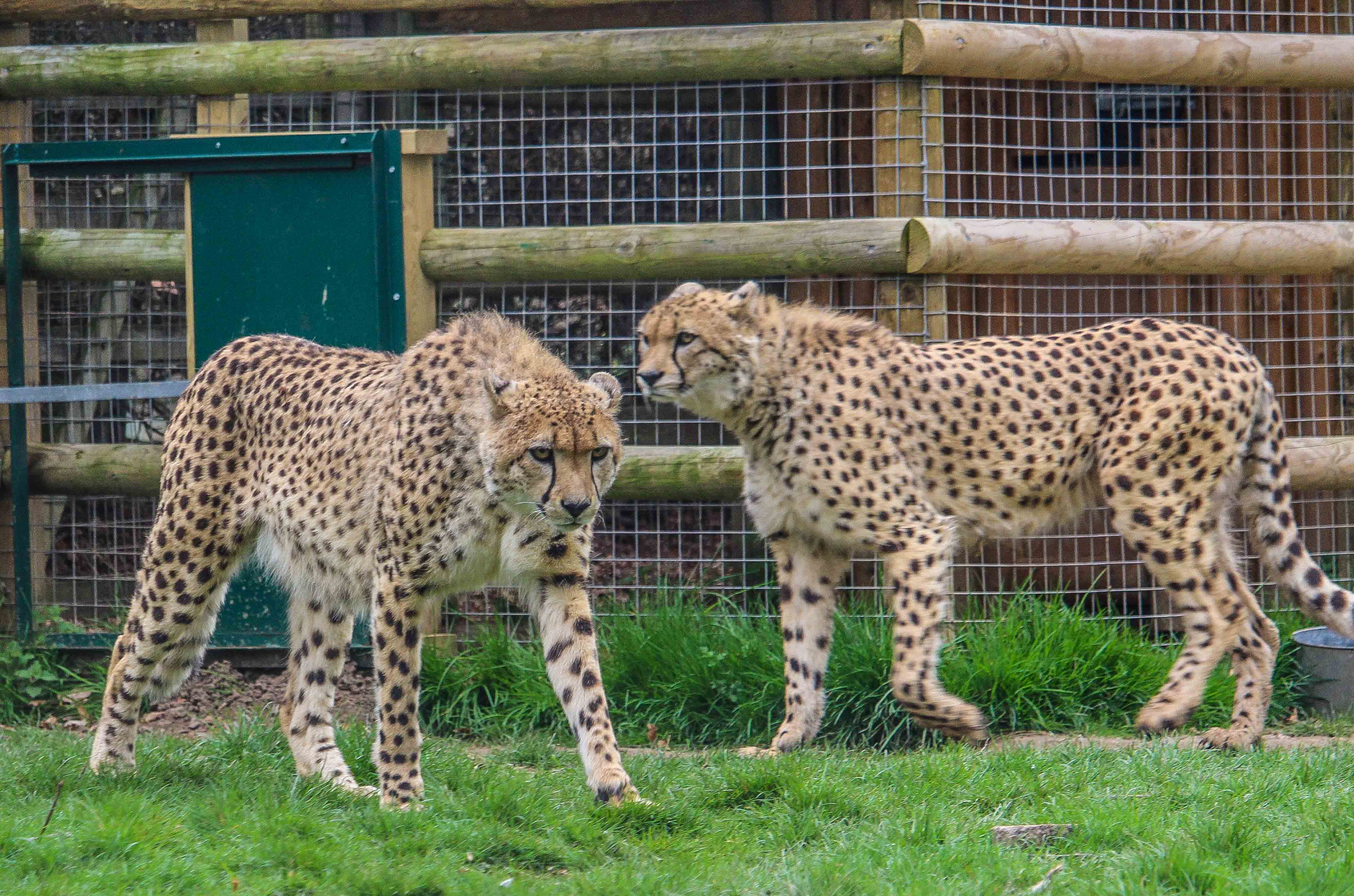 Cheetahs from UK sent to SA for rewilding