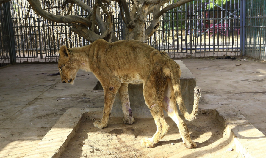 Sudan zoo lions in harrowing condition