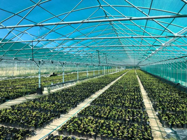 Spekboom plants to form Great Labyrinth of Africa