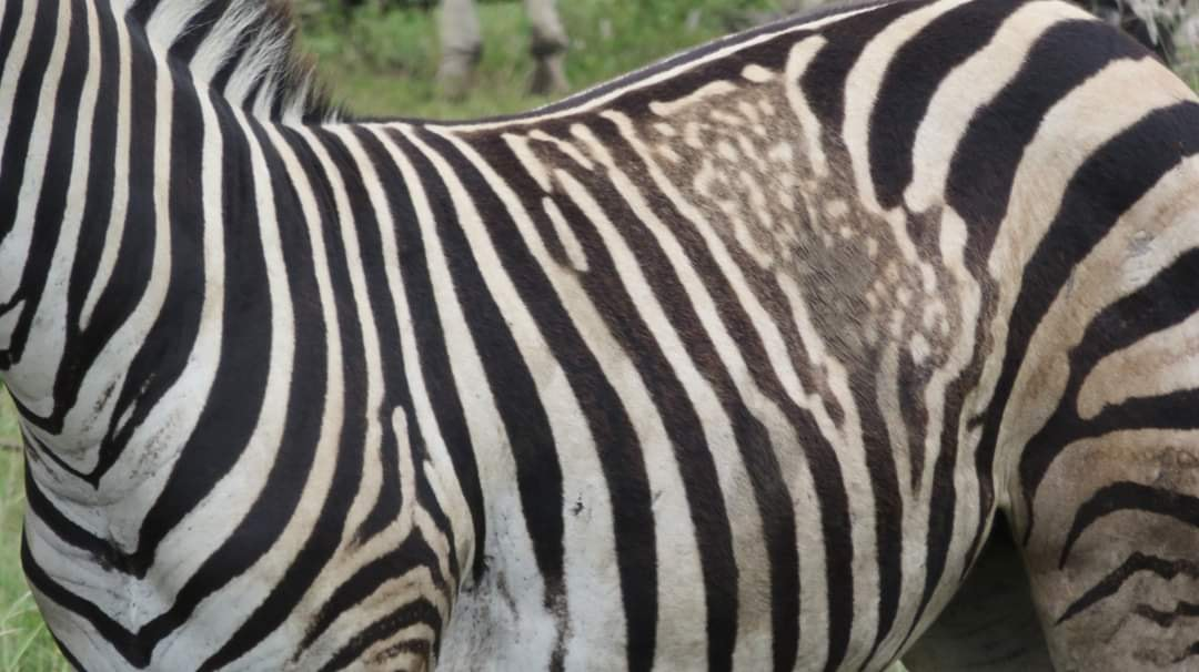 Rare zebra with spots sighted in Kruger