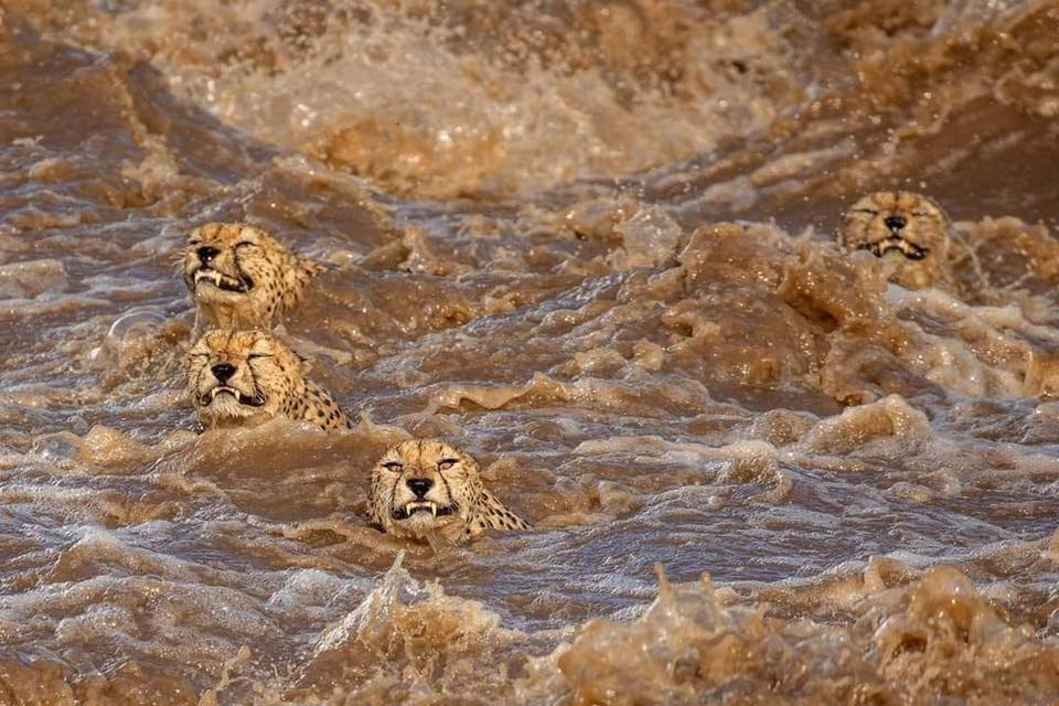 Award-winning photographer captures amazing cheetah crossing