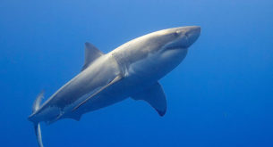 Two Oceans Aquarium and Save Our Seas join forces to protect sharks