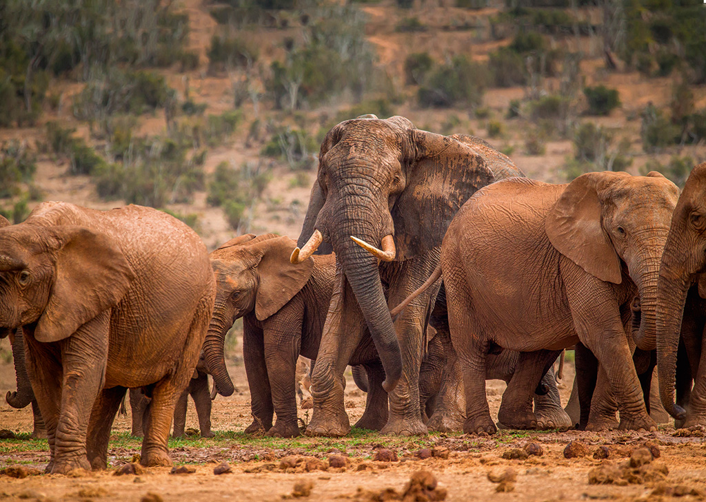 Tembe, a northern KZN elephant, stood head and shoulders above his new friends in Addo.