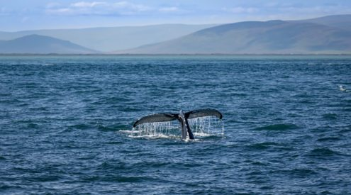 iceland, whales, whaling