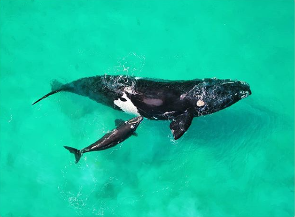 Southern right whales headed to SA and you can adopt one