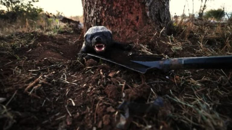 Game rangers rescue trapped honey badger