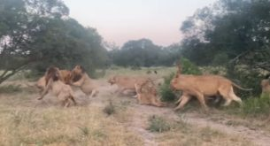 Kruger National Park's big cats in action