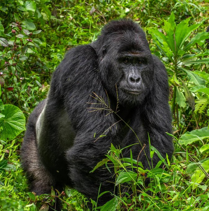 Killer of rare, endangered silverback gorilla Rafiki gets 11 years