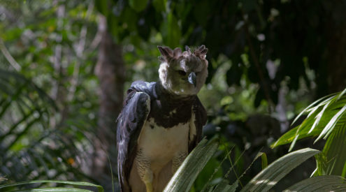 The harpy eagle's struggle for survival