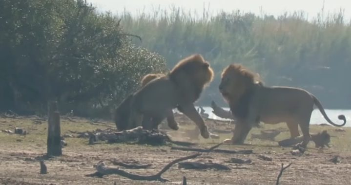 Three lions attack younger male