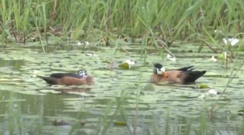 Rare pygmy geese sighted in Kruger National Park