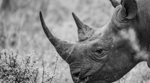 Over R100-million worth of rhino horn seized at O.R. Tambo