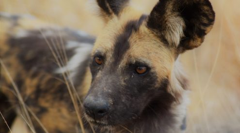Wild dog numbers in Mana Pools Park lowest in a decade