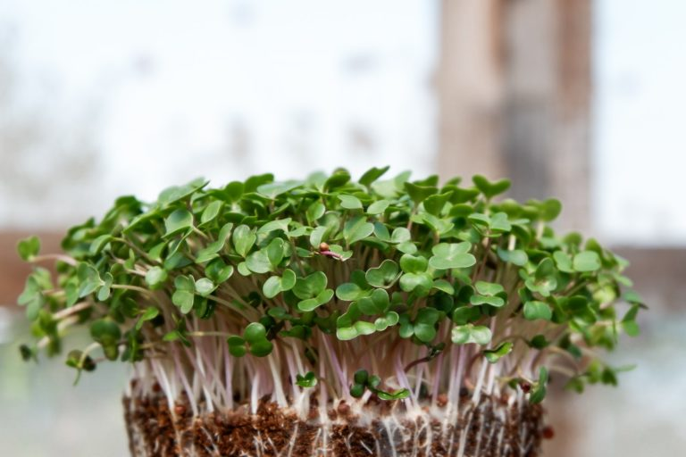 How to grow your own micro-greens at home