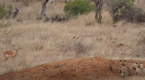 Impala crosses paths with stalking cheetahs