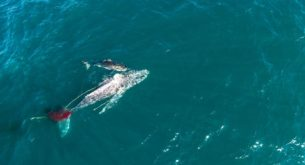 Footage of shark hunting a whale is the first of its kind