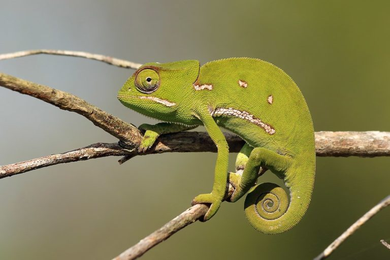 South Africans urged not to buy chameleons